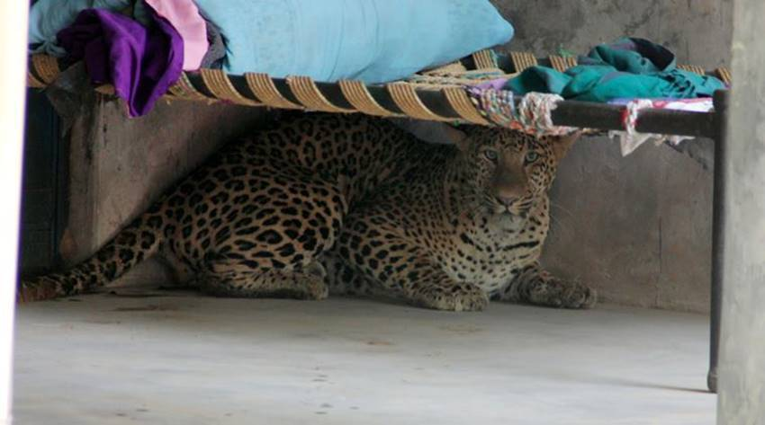 leopard gurgaon, leopard in gurgaon, leopard killed gurgaon, leopard sohna road, leopard gurgaon village, leopard photos, aravali hills, leopard in aravali hills, leopard in gurgaon, jansatta